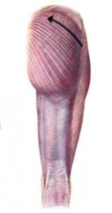 Gluteal muscles decelerate internal rotation and adduction