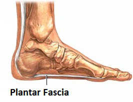 Plantar Fascia Thanks to Ryxi10 for the use of this image